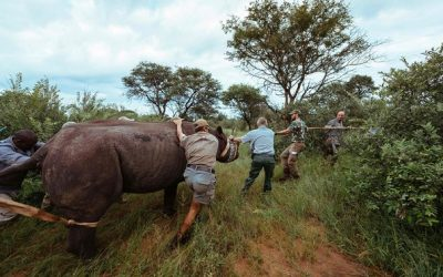 BLACK RHINOS RETURN TO RWANDA AFTER 10 YEARS