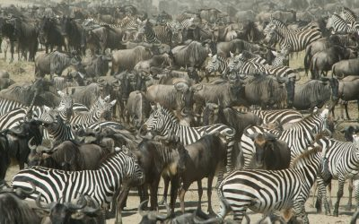THE WILDEBEEST MIGRATION HAS BEGUN… BOOK NOW!