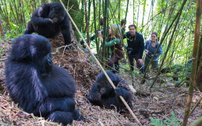 UGANDA INCREASES ITS NUMBER OF GORILLA PERMITS