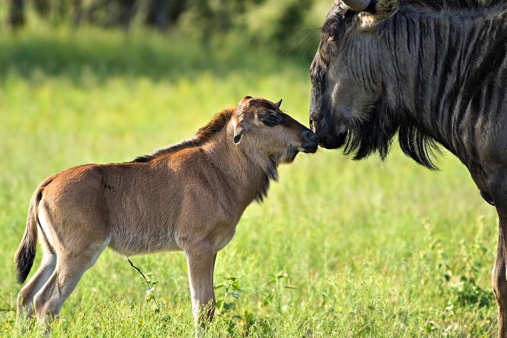 IT'S A GNU YEAR!  THE GREAT MIGRATION'S BEST KEPT SECRET: CALVING SEASON