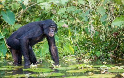 EXPLORE THE WONDER OF BONOBO'S – 'THE PYGMY CHIMP'
